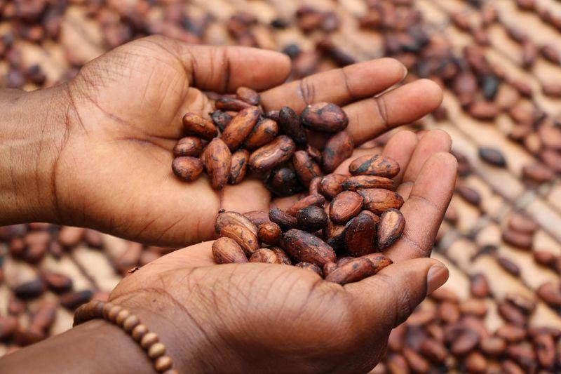 Für die Kakaozeremonie: Kakaobohnen in der Hand eines Farbigen.